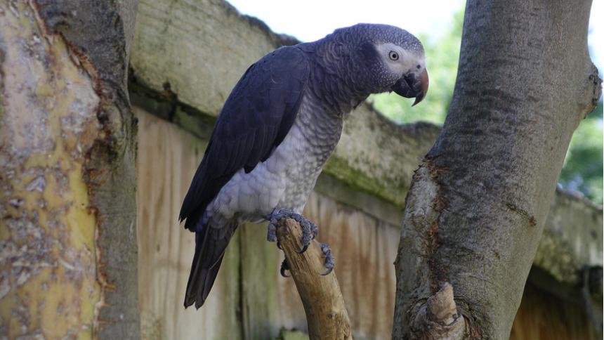 Metalband frontas av papegoja – lyssna här