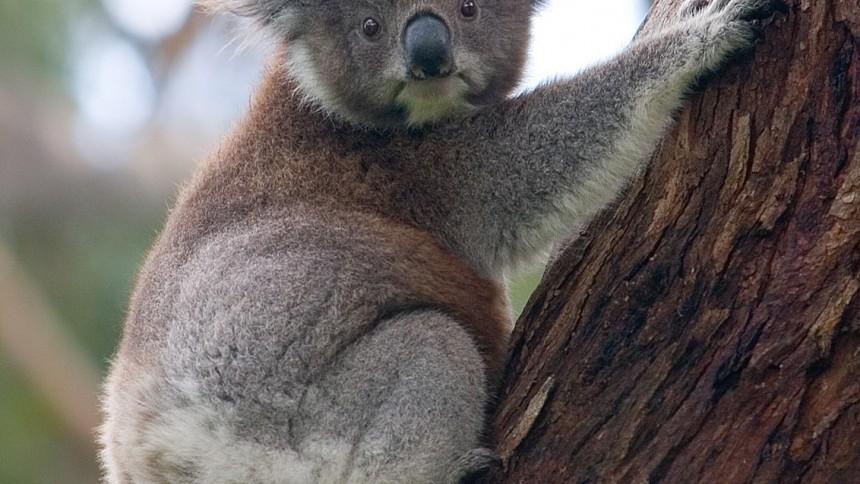 Festival skapar kaos för koalorna