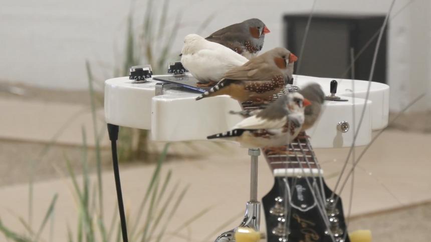 70 fåglar leker rockstjärnor och resultatet är ... intressant